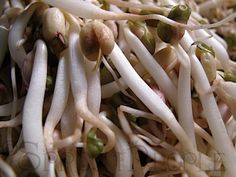 How to grow your own Mung Bean Sprouts! (This is safer than buying them at a store, economical and easy.)