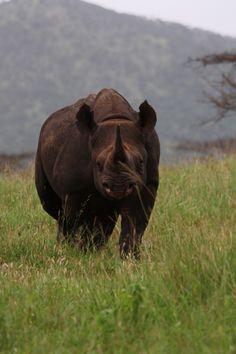 Curious Black Rhino