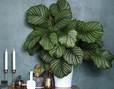 Grande tendance 2018 : les plantes à motifs | DECOCLICO Calathea, Mini Terrarium, Terrariums, Pink Plant, Balcony Garden, Plant Decor, Cactus Plants, Decoration, Indoor Plants