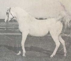 indraff 1938. bred: Roger A. Selby, Portsmouth OH. Sired 254 registered purebred Arab foals (12 of which had National wins) and 2 registered 1/2 Arab foals. Owners: 5-9-1938/? Roger A. Selby - Portsmouth OH; ?/1945 Donald Schutz - North Manchester OH; 1946/63 Bazy Tankersley - Peru IL (Foundation sire for her Al-Marah Arabians - later located in Tucson AZ). 1948 Ch at the Nl Stallion Show in Waterloo, IA; shown in WP, EP, Costume & Parade. Deceased 8-22-63 at age 25. aragon thru hi win ronda