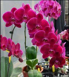 Phalaenopsis Kerala India, Plants, Orchids, Flora, Plant