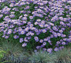 aster x frikartii Monch    2-3ft stems bear masses of 2.5-in flowers all summer, in an extraordinary shade of lavender blue. An outstanding middle of the border plant with Achillea, Alchemilla, Alstroemeria, Antirrhinum, and Astrantia. 'Monch' flowers best in full sun and evenly moist but well-drained soil. Best treated as an annual in the Deep South. full sun. reliable moisture pinch  midsummer