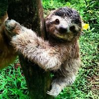 44_english alexander_sahari the three and a half- toed sloth.jpg