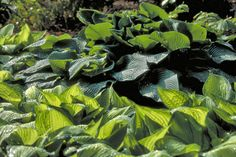Advise: Hostas are one of the best foliage plants for light to medium shade and are deservedly popular. These resilient and easy-to-grow plants are available in a wide range of leaf colours, sizes and shapes, and are also valued for their flowers, which are often fragrant. Both flowers and foliage are as favoured by the flower arranger as the gardener.