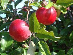 1 Red Delicious Apple tree  (Malus x domestica) 2 feet tall $10.99