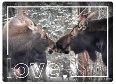 "Stuck on Someone? Let your honey know with this Valentine's Day fridge magnet. ""Moose Kiss"" - an image of a mama moose (Alces alces) and her calf captured in Gilpin County, CO. 4"" 5.5"" fridge magnet."