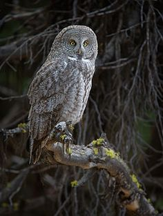 Great Gray Owl, The Silent Hunter, Wildlife Photography Guardians Of Ga'hoole, Animals And Pets, Cute Animals, Strix Nebulosa, Mystical Forest, Great Grey Owl, Owl Crafts, Animal Totems, Owl Art