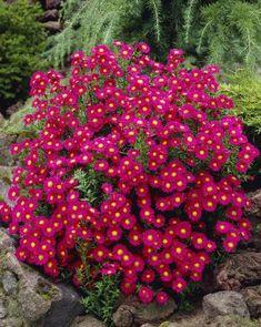 Perennat: valtava valikoima uutuuksia ja suosikkeja - Viherpeukalot.fi Michaelmas Daisy, Aster Flower, Bulb Flowers, Perennials, Different Colors, Seasons, Daisies, Bulbs, Rainbow