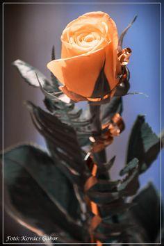 Rose by Kovács Gábor on 500px
