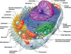Study 15 Anatomy & Physiology I, Exam 1: The Cell flashcards from tina l. on StudyBlue.