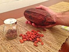 This is where chocolate comes from! The giant cocoa pod is the fruit that contains dozens of little cocoa beans that turn red when they are dried. The beans are used to make the chocolate. http://www.everintransit.com/chocolate-garage/