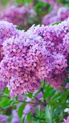I love lilacs. On our walk yesterday, my husband and pups were forced to wait while I nosied up to everyone's newly blooming lilacs to get a sniff!