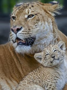 """As a rare hybrid of a lion and a tiger, female """"Liger"""" Zita gave birth to (with African lion father Samson) a female """"Liliger"""" cub Kiara, at the Novosibirsk Zoo in Russia in 2012."""