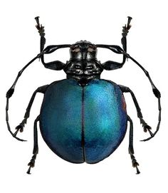 Cyclopeplus lacordairei / blue beetle engraving / Collections of Objects / Collections of Things / Displaying / Vintage / Ideas / Nature / Antique / insect Beetle Insect, Insect Art, Cool Insects, Bugs And Insects, Longhorn Beetle, Cool Bugs, Foto Transfer, Collections Of Objects, Blue Beetle