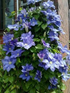 Rhapsody Clematis added spring 2017 from Donahues Rock Garden Plants, Garden Bulbs, Garden Types, Purple Clematis, Clematis Vine, Climber Plants, Bulb Flowers, Gardening Supplies, Backyard Landscaping