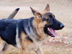 Maximus, German Shepherd.