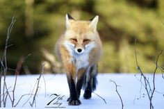 Red Fox by Chris MacDonald on 500px