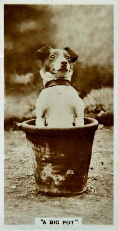 Vintage Jack Russell Terrier photograph