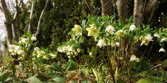 Grönt och grönskande – Turkisk julros, Helleborus orientalis, kan ha grönaktigt vita blommor. Den blommar i mars–maj beroende på hur vädret varit och är bara så ljuvlig när den pryder marken i stora bestånd under träd som ännu inte lövats i Pastor Spaks park. Den föredrar att växa i lätt skugga, men tolererar sol. Blir ca 30 cm hög och räknas som halvhärdig. C/c-avstånd: 40 cm. Maj, Plants, Inspiration, Pastor, Branding, Biblical Inspiration, Plant, Planting, Planets