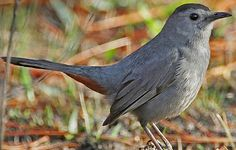 Gray Catbird  Habitat: Dense thickets. Easier to hear than see because they hide in dense shrubbery.  Diet: Insects and berries.  Backyard Favorites: Will eat grape jelly.
