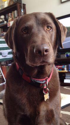 Meet Labrador Dexter, Dog of Craig: Lab Puppies, Cute Puppies, Chocolate Labrador Retriever, Chocolate Labs, Group Of Dogs, Cute Baby Dogs, Felt Dogs, Mans Best Friend, Doggies