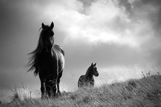 SALE - 50%off 12 x 8 prints  Horse photo, animal photography, black and white, fine art photo, British Fell ponies, choice of sizes on Etsy, $13.42