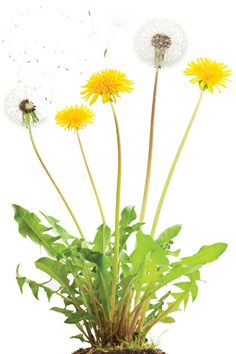 Easy-growing weeds are surprisingly tasty and packed with nutrients.