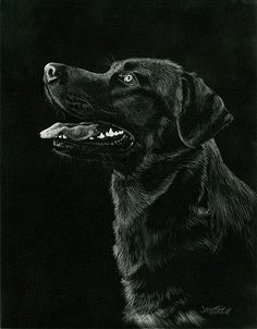 """Delighted - Black Lab by Heather A. Mitchell Scratchboard ~ 14"""" x 11"""""""