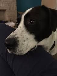 """My boy, Confetti is a """"Pointollie"""". A Pointer/Border Collie cross, and quite possibly the best dog ever! Pocket Pitbull, Mans Best Friend, Best Friends, Mini S, Border Collie, Cousins, Pointers, My Boys, Best Dogs"""