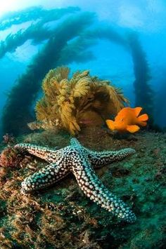 Starfish is sitting pretty in its natural environment   on a cold water reef  ~ California.