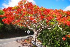 By its vary names alone, this boundlessly beautiful cascade of vibrant tropical flowers crowning an equally striking tangle of trunk, limbs, roots, and leaves i