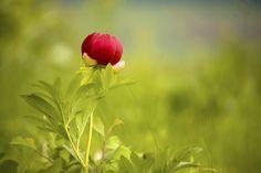 Wild peony flower amongst lush greenery