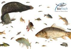BIOFISCH Marc Mößmer züchtet in seinem Teich im oberen Waldviertel Karpfen, Zander, Hecht & Co. Darüber hinaus ist er Mitbegründer der ARGE Biofisch, leitet die Biofisch GmbH und klärt mittels Vorträgen und Beratungen unermüdlich über die Besonderheiten der biologischen Fischzucht auf. www.biofisch.at Pets, Animals, Fish Farming, Unique Hairstyles, Carp, Fish, Animales, Animaux, Animal