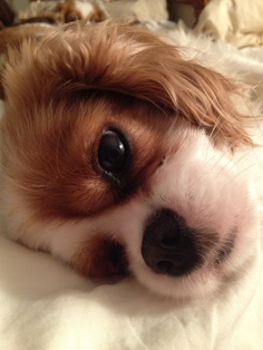 Our Carly. .....Cavalier King Charles!