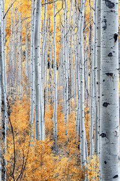 Aspen Trees Near Gunnison, CO