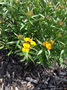 Wallflower (erysimum x cheiri): Grows about 18 in. tall and wide. Produces beautiful, sweetly scented flowers in spring. Makes a good companion with tulips.