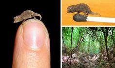 Tiny Chameleon   86 Very Tiny CuteThings