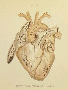 I love this for a tattoo. I love anatomy, and it has always been my favorite part of science ever since I was in elementary school. I don't know what it is about the human body that impresses me so much. I love the anatomy Heart Anatomy, Human Anatomy And Physiology, Human Anatomy Art, Medical Anatomy, Medical Illustration, Heart Illustration, Human Heart, Medical School, Medical Art