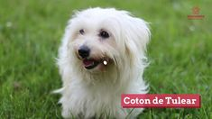 Want a pet? Check out these hypoallergenic options! Super Cute Dogs, Coton De Tulear, German Shepherd Dogs, Allergies, Labrador Retriever, Pets, Projects, Check, Animals