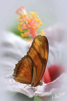 ~~Butterfly Checking Out An Hibiscus by alanj2007~~