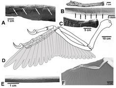 Dakotaraptor features