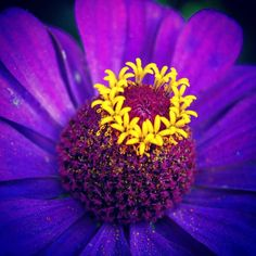Extreme #yellow #detail #structure inside a #purple #purpleblue #magenta open #flower in #summer captured in #color with #Nikon #d5200 #fp4 #f1point4 #wideaperture #wideaperturephotography #closeup #shallow #dof #depthoffield #shallowdepthoffield #shallowdof