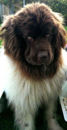 A landseer newfoundland... so I saw one of these dogs for the first time and instantly fell in love