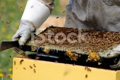 Apiarist working with Beehives royalty-free stock photo He Hive, Harvesting Honey, Agriculture Photos, Stock Imagery, Save The Bees, Alternative Health, Bee Keeping, Royalty Free Stock Photos, Beekeeping