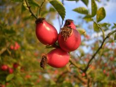 ROSE HIP RECIPES FOR HEALTH AND FLAVOR | Weed Cuisine - includes recipes for jam, puree, tea, chutney and a curry