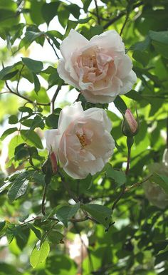 Madame Alfred Carrière Rose, begins blooming in May and is seldom without flowers.