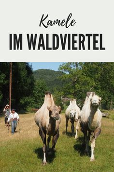 Für einen Kamelritt braucht man nicht in die Wüste reisen, ein Ausflug ins südliche Waldviertel ist ausreichend. Mehr erfahren Sie im ersten österreichischen Ausflugsführer für Tierfreunde. #Niederösterreich #Reiseführer #Ausflugsziel #Österreich #Ausflug #Geheimtipp #Kurioses #Sehenswürdigkeiten #Waldviertel #Tiere #Kamele #Reiten Animals, Camels, Road Trip Destinations, Interesting Facts, Horseback Riding, Woodland Forest, Animales, Animaux, Animal