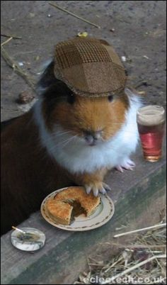 english guinea pig