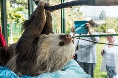 Things to Do in Costa Rica: Close encounters with SLOTHS at the Toucan Rescue Ranch (San Isidro, Heredia, Costa Rica)  #wildlife #animals #sloth #CostaRica