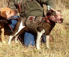 Southern Cross Catch Vest  Hog Hunting, Hog Dog, Catch Dog  www.SouthernCrossCutGear.com